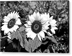 Sunflowers In Black And White Acrylic Print by Kaye Menner