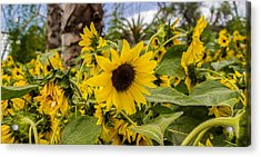Sunflowers In Bloom Acrylic Print by Martin Newman