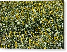Sunflowers In Chianti Acrylic Print by Sami Sarkis