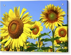 Sunflowers In Field Acrylic Print by Elena Elisseeva