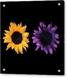 Sunflowers In Uv And Daylight Acrylic Print