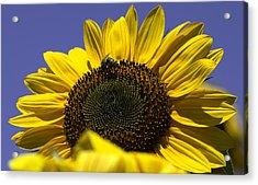 Sunflowers Acrylic Print by John Holloway
