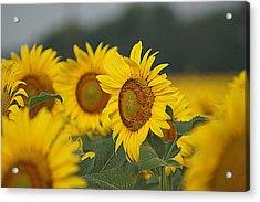 Acrylic Print featuring the photograph Sunflowers by Kathy Churchman