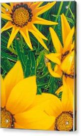 Sunflowers Medley Acrylic Print