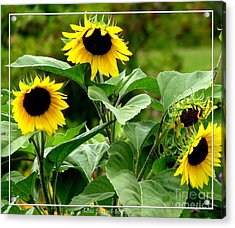 Acrylic Print featuring the photograph Sunflowers by Rose Santuci-Sofranko