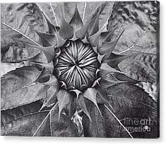 Sunflower's Shades Of Grey Acrylic Print