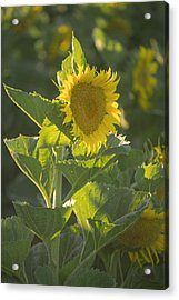 Sunlight And Sunflower 3 Acrylic Print