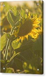 Sunlight And Sunflower Acrylic Print