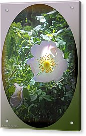Sunlight On The Wild Pink Rose Acrylic Print by Patricia Keller