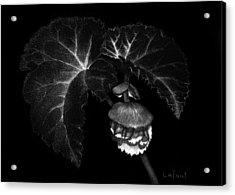 Sunlit Begonia Acrylic Print