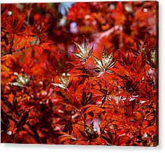 Sunlit Japanese Maple Acrylic Print