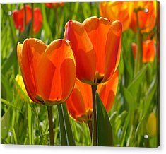 Sunlit Orange Tulips Acrylic Print by Rona Black
