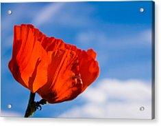 Sunlit Poppy Acrylic Print by Adam Romanowicz