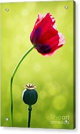 Sunlit Poppy Acrylic Print by Natalie Kinnear