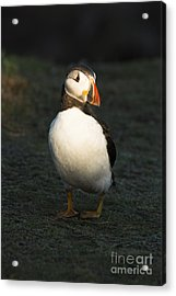 Sunlit Puffin Acrylic Print by Anne Gilbert