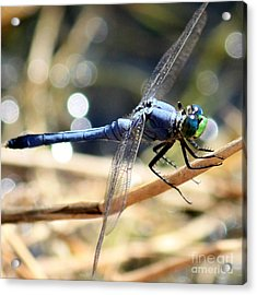 Sunning Blue Dragonfly Square Acrylic Print by Carol Groenen