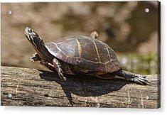 Sunning Turtle Acrylic Print