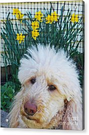Sunny And The Daffodils Acrylic Print by Judy Via-Wolff