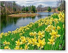 Sunny Daffodil Acrylic Print by Bill Wakeley