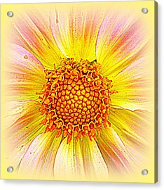 Sunny Dahlia Acrylic Print by The Creative Minds Art and Photography