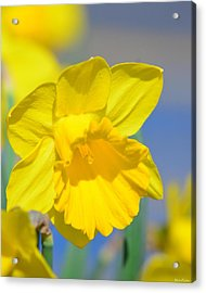 Sunny Days Of The Daffodil Acrylic Print by Maria Urso