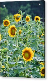 Sunny Faces Acrylic Print by Jan Amiss Photography