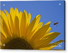 Sunny Fly By Acrylic Print by Nick  Boren