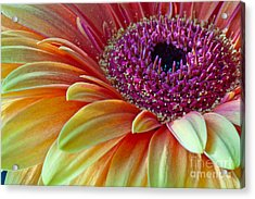 Acrylic Print featuring the photograph Sunny Gerber 2012 by Art Barker