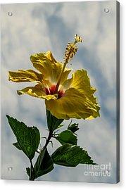 Sunny Hibiscus  Acrylic Print