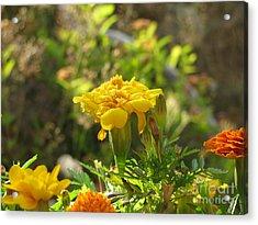 Sunny Marigold Acrylic Print by Leone Lund