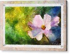 Sunny Pink Cosmos Acrylic Print
