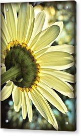 Sunny Shasta Daisy Acrylic Print by Kelly Nowak