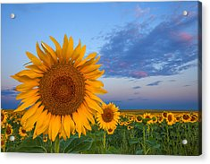 Sunny Side Up Acrylic Print by Darren  White