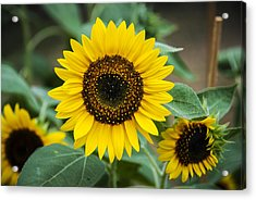 Acrylic Print featuring the photograph Sunny Smile Sunflower by Phil Abrams
