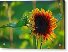 Sunny Sunflower Acrylic Print by Denise Darby