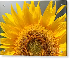 Acrylic Print featuring the photograph Sunny Sunflower by Olivia Hardwicke