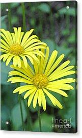 Sunny Yellow 2 Acrylic Print