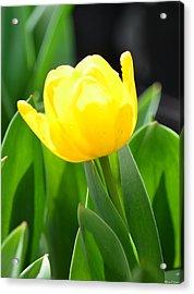 Sunny Yellow Tulip Acrylic Print by Maria Urso