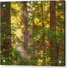 Sunrays Over Redwoods Acrylic Print