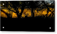 Sunrise In The Timber Acrylic Print