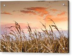 Sunset Against The Cornstalks Acrylic Print