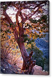 Sunset Colors Of A Juniper Tree Acrylic Print