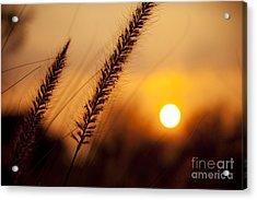 Sunset Fountain Grass Acrylic Print