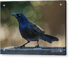 Sunset Grackle Acrylic Print