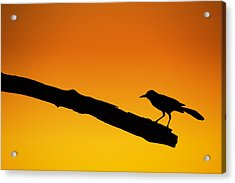 Sunset Grackle Silhouette Acrylic Print by Andres Leon