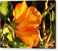 Sunset Hibiscus Acrylic Print