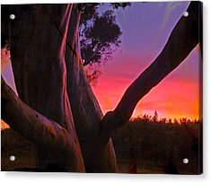 Sunset Madrone 3 Acrylic Print