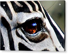 Sunset Reflected In Zebra's Eye    Acrylic Print