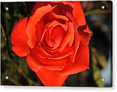 Acrylic Print featuring the photograph Sunset Rose by Robert  Moss