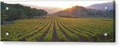 Sunset, Vineyard, Napa Valley Acrylic Print